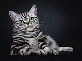 Excellent black silver tabby blotched green eyed British Shorthair cat kitten laying in majestic pose, looking at camera. Isolated on black background.