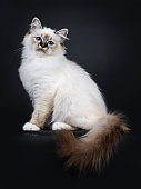 Stunning tabby point Sacred Birman cat kitten sitting side ways with tail hanging down over edge and looking proudly in camera lens with mesmerizing blue eyes, isolated on black background