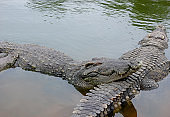 Two crocodiles in the water