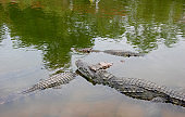 Crocodiles in the water
