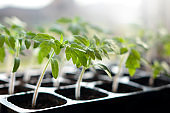 tomato seedlings in plastic pots ready to plant