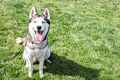 Funny siberian husky dog with pointy ears & long tongue sticking out on a walk. Leashed domestic purebred pet resting on green mawed grass lawn of city central park. Background, copy space, close up.