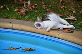 Cat lies and yawns near the swimming pool