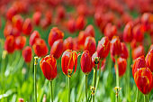 Blooming red tulips in garden