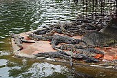 A group of crocodiles is resting and sunbathing near the water