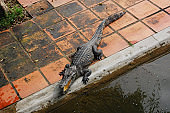 Crocodile is lying near the water