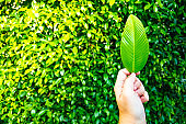 male hand holding green leaf with blurred green bush background.