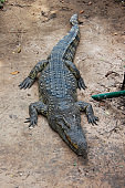 Crocodile is lying and resting