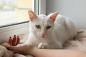 Adorable white cat with wide open green eyes is lying on a pink blanket near to the window and holding hand of its owner, front view.