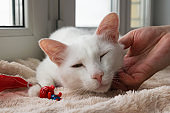 Hand of owner stroking young gentle white cat. White cat with its toy on a pink blanket near to the window, front view.