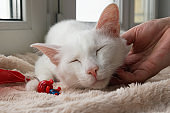 Hand of woman stroking young gentle white cat. White cat with its toy on a pink blanket near to the window, front view.