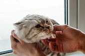 Hand of owner stroking gray tabby Scottish fold cat.