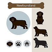 Newfoundland Dog Breed Infographic