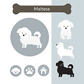 Maltese Dog Breed Infographic
