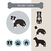 Border Collie Dog Breed Infographic