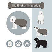 Old English Sheepdog Dog Breed Infographic