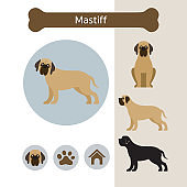 Mastiff Dog Breed Infographic