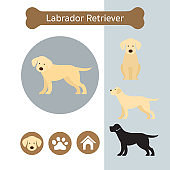Labrador Retriever Dog Breed Infographic