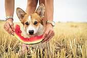 cute pembroke welsh corgi dog  on grass or meadow on summer vacation holidays  eating a fresh watermelon from the hands of the owner in field