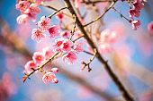 Cherry blossom in Thailand