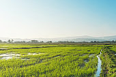 Landscape of greenfield and rice seedlings