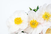 Beautiful bouquet of white Chinese peonies on light background