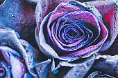 Macro photography of purple - neon roses with raindrops. Fantasy and magic concept. Selective focus.
