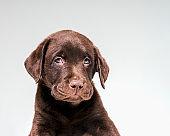 Portrait of Chocolate Labrador puppy