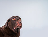 Chocolate Labrador against gray background