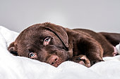 Portrait of Chocolate Labrador puppy on blanket