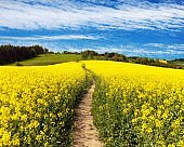 Field of rapeseed, canola or colza and path way