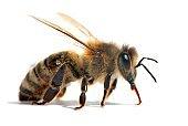 bee or honeybee in Latin Apis Mellifera