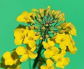rapeseed flower on green background