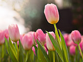 Beautiful pink blooming tulips in tulips field with natural sunrise or sunset background in spring season