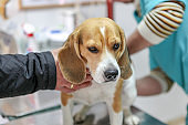 Veterinarian doctor and dog beagle