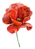 Flower red poppy. Watercolor hand drawn illustration. Object isolated on white background. Element for decoration of cards, holidays, weddings.