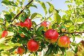 Crop of green apples on an apple tree; summer.