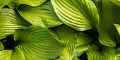 Natural gresh green leaves close up banner background.