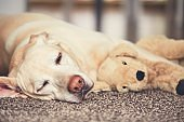 Dog resting with his plush toy