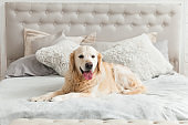 Golden retriever puppy dog in luxurious bright colors classic eclectic style bedroom with king-size bed and bedside table. Pets friendly  hotel or home room.