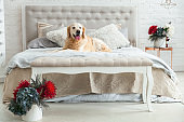 Golden retriever puppy dog in luxurious bright colors classic eclectic style bedroom with king-size bed and bedside table, red flowers. Pets friendly  hotel or home room.