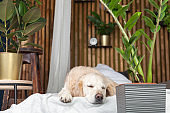 Sleeping golden retriever pure breed puppy dog on coat and pillows on bed in house or hotel. Scandinavian styled with green plants living room interior in art deco apartment. Pets friendly concept.