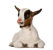 Young domestic goat