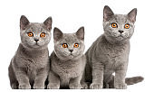 British Shorthair kittens, 3 months old, sitting in front of white background