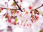 Japanese sakura flower or cherry blossom.