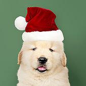 Portrait of a golden retriever puppy wearing a  Santa hat