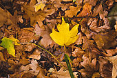 Autumn yellow leaves in the forest
