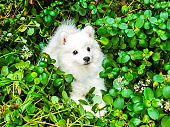Puppy Japanese Spitz in the bushes