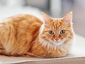 Cute ginger cat lying on couch. Fluffy pet looks curiously. Cozy home background.