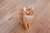 Cute ginger cat. Fluffy pet is gazing curiously. First photos of stray kitten taken home.